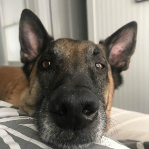 Photo of German Shepard with head on pillow